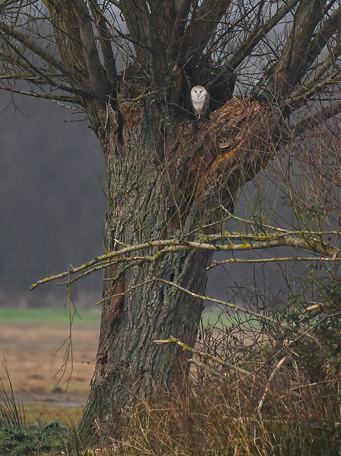 Digital print - The Watcher (Barn Owl)