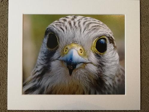 10x8 mounted print, Kestrel portrait