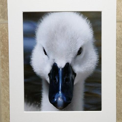 Cygnet portrait - 10x8 mounted print