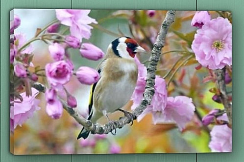 12x8 canvas print -Goldfinch in Cherry Blossom