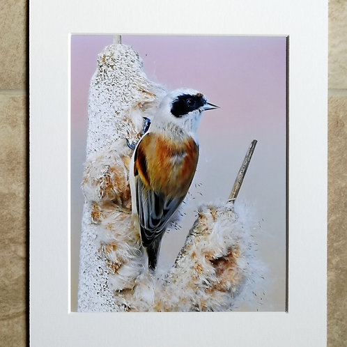 Penduline Tit in the pink - 10x8 mounted print