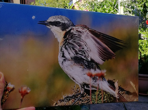 12x8 canvas print - Male Wheatear