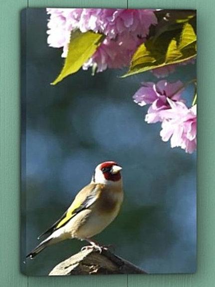 12x8 canvas print - Goldfinch under blossom