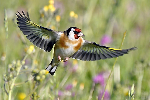 1000 piece jigsaw puzzle - Goldfinch flying through the meadow