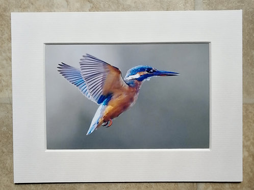 Hovering Kingfisher - 6x4 mounted print