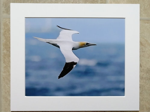 Gannet flying past - 10x8 mounted print
