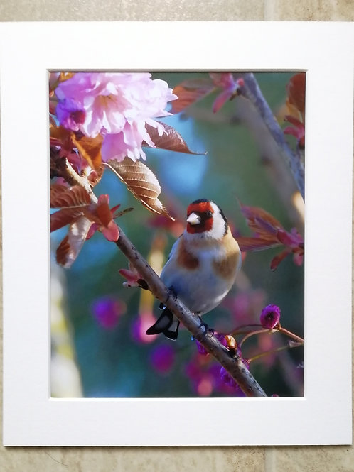 Goldfinch in Cherry Blossom 2 - 10x8 mounted print