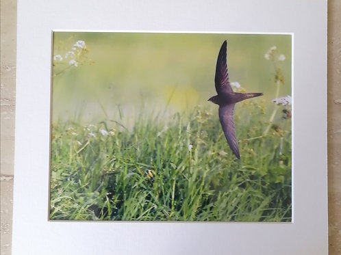 Low flying Swift 10x8 mounted print