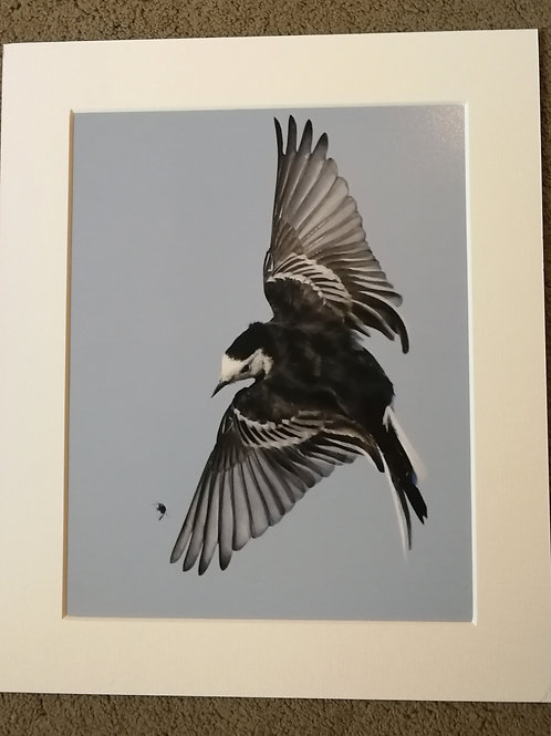 10x8 mounted print, Pied Wagtail after a fly