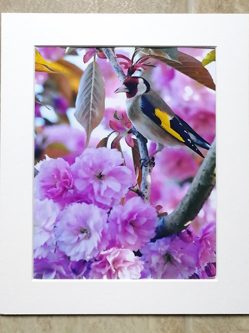 Goldfinch in Cherry Blossom 4 - 10x8 mounted print