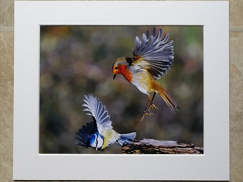 Robin dropping in on a Blue Tit - 10x8 mounted print