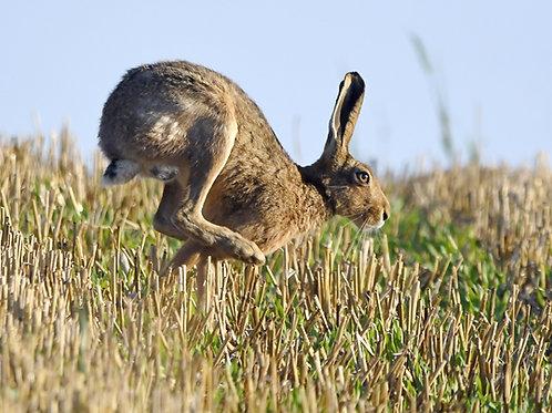 Digital print - Hare on the run