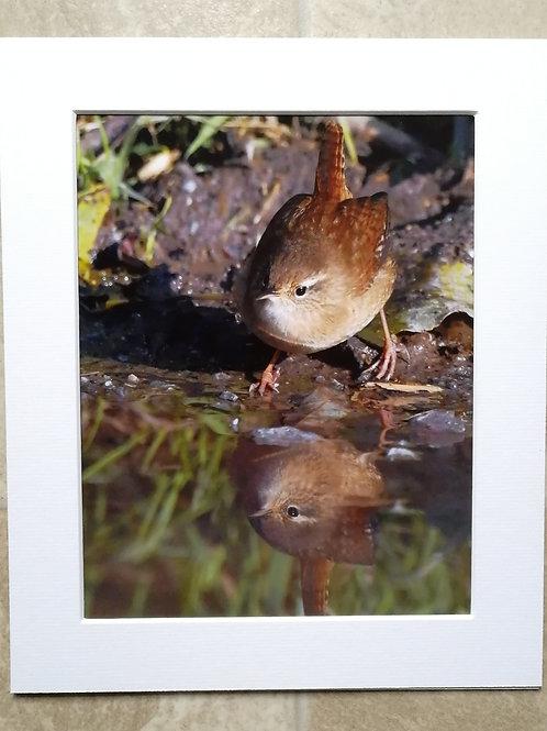 Wren reflection - 10x8 mounted print