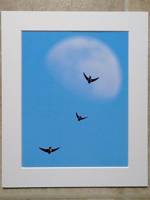 Sand Martin moon - 10x8 mounted print