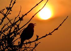 47. Blackbird.JPG