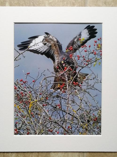 Buzzard in berries - 10x8 mounted print