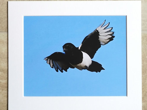 Super Magpie - 10x8 mounted print
