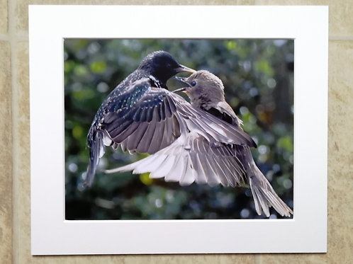 Starling and juvenile - 10x8 mounted print