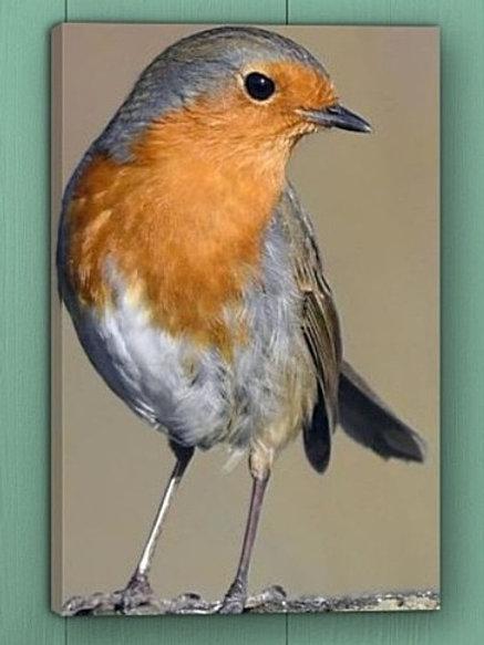 12x8 canvas print - Robin portrait