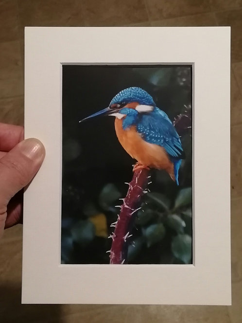 Kingfisher on thorny branch - 6x4 mounted print