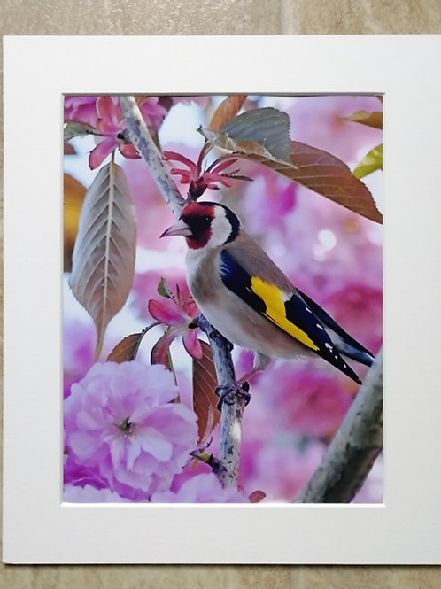 Goldfinch in Cherry Blossom 3 - 10x8 mounted print