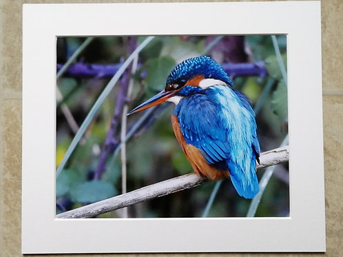 Kingfisher patience - 10x8 mounted print