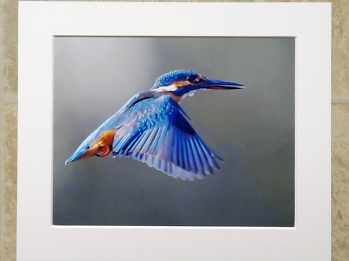 Hovering Kingfisher - 10x8 mounted print