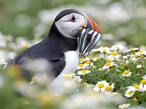 1000 piece jigsaw puzzle - Puffin in daisies