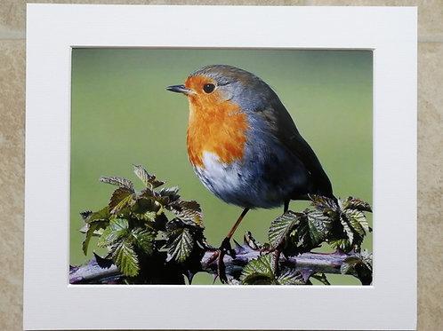 Robin in bramble - 10x8 mounted print