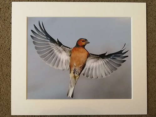 10x8 mounted print, Angelic Chaffinch