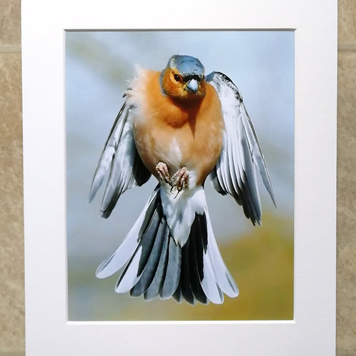 Male Chaffinch frozen in the air - 10x8 mounted print