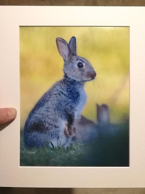 Alert young bunny - 10x8 mounted print