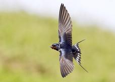 77. Swallow.JPG