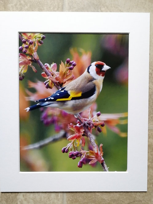 'Goldfinch in spring buds' 10x8 signed & mounted print
