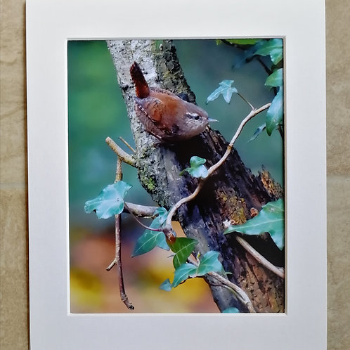 The Wren and the Ivy - 10x8 mounted print
