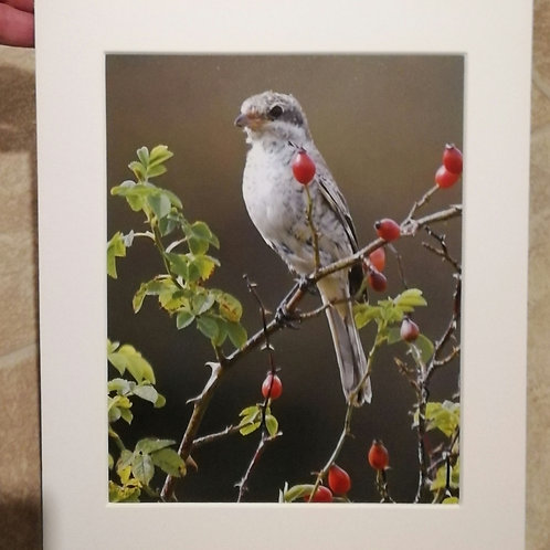 Woodchat Shrike and rosehips - 10x8 mounted print