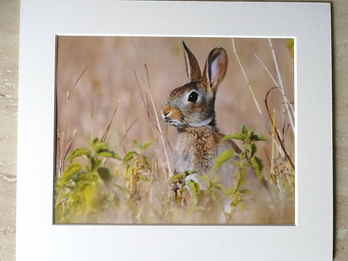 Young Rabbit on lookout - 10x8 mounted print