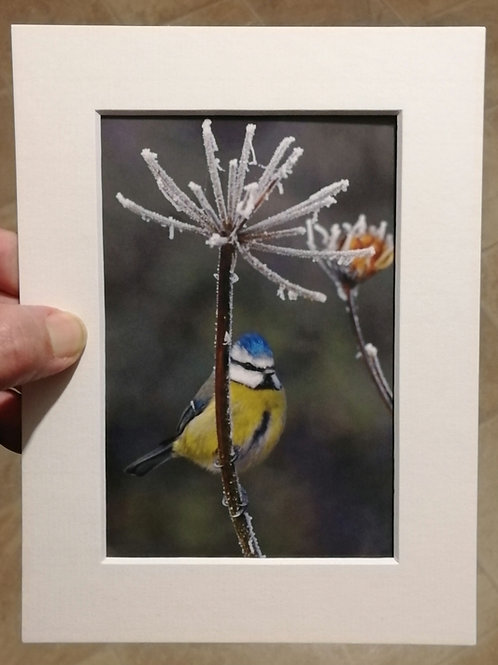 Blue Tit and frost - 6x4 mounted print
