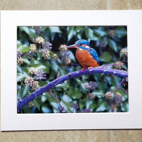 Kingfisher branch 2 - 10x8 mounted print