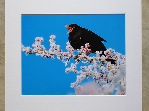 Blackbird and frosty berries - 10x8 mounted print