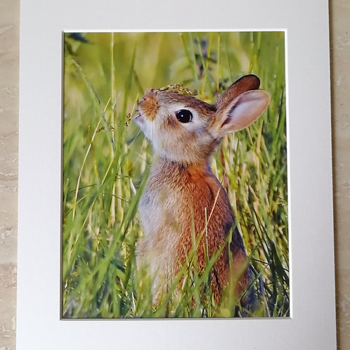 Young Rabbit in the meadow, 10x8 mounted print