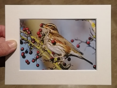 Redwing with berry - 6x4 mounted print