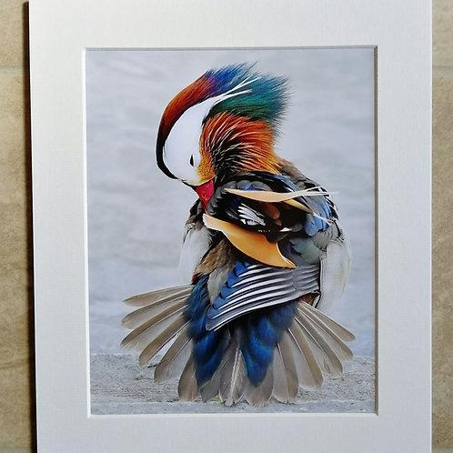 'Male Mandarin' 10x8 mounted print