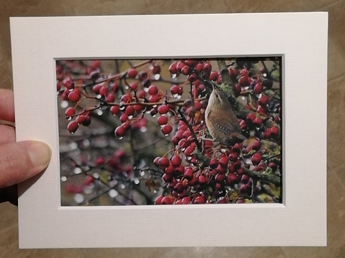 Wren and berries - 6x4 mounted print