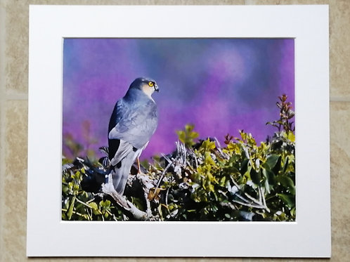 Sparrowhawk in colour - 10x8 mounted print