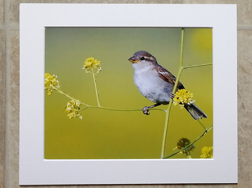 Young Sparrow in the rapeseed - 10x8 mounted print