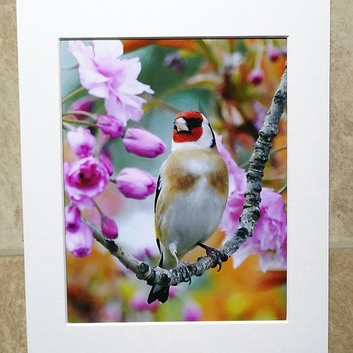 Goldfinch in Cherry Blossom 2 - 10x8 signed & mounted print