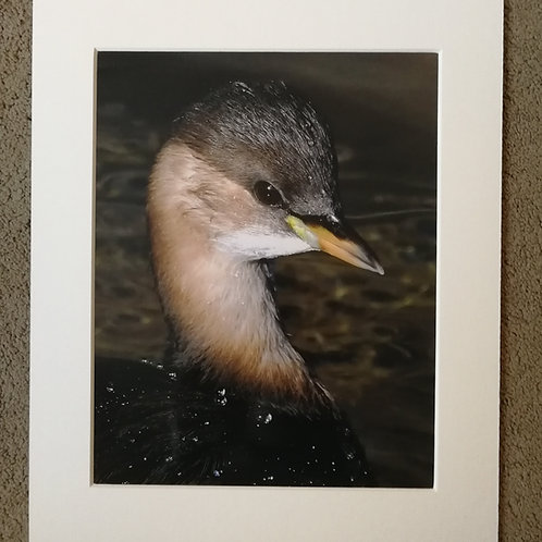 SPECIAL OFFER - 10x8 mounted print, Little Grebe portrait