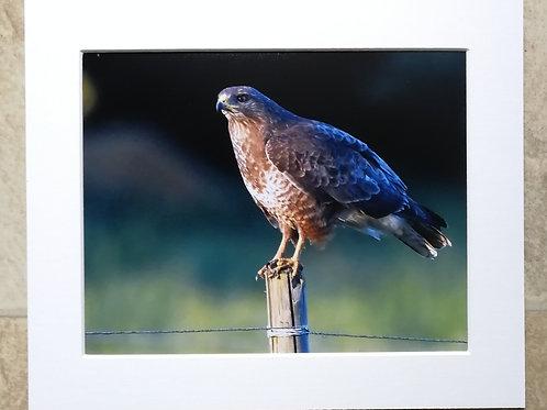 Buzzard on a post - 10x8 mounted print
