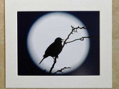 Blackbird moon - 10x8 mounted print